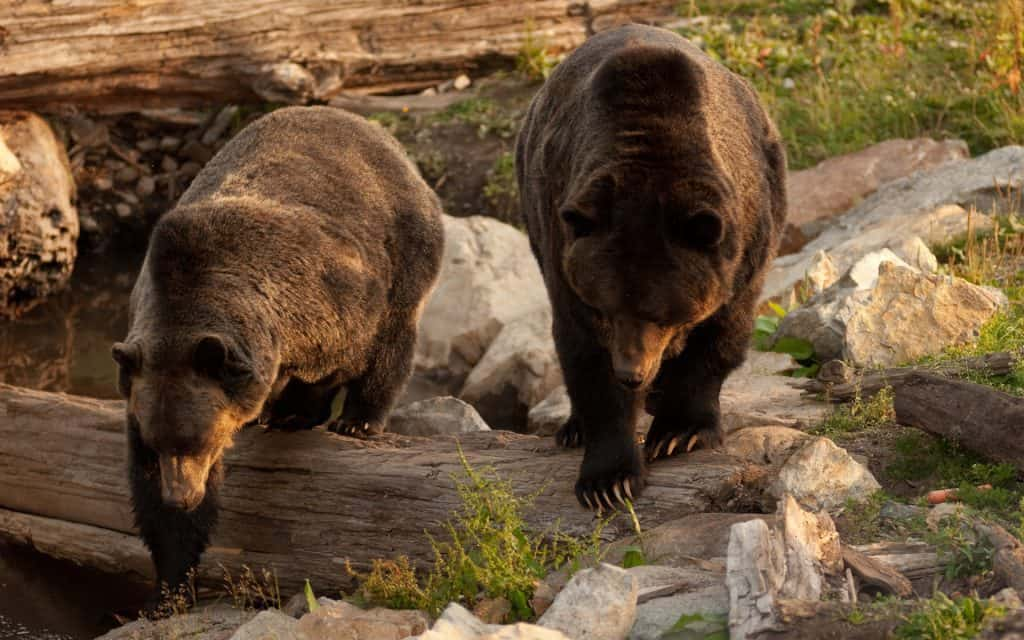 Grouse-Mountain-Bears